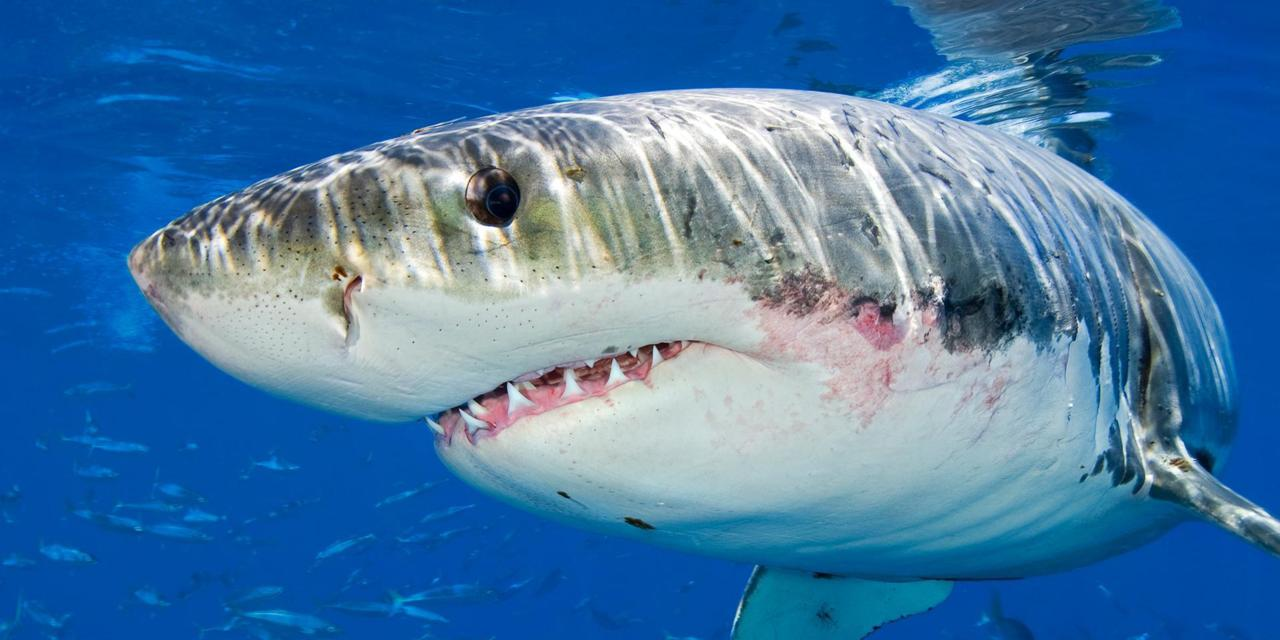 Great White Shark That Murdered Man In Australia's Whitsundays On Monday Hoping To Have Charge Reduced To Manslaughter In Queensland's Supreme Court.