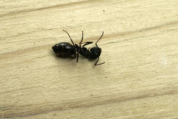 Recently Deceased Hardworking And Altruistic Black Garden Ant Almost Immediately Forgotten By Members Of Colony